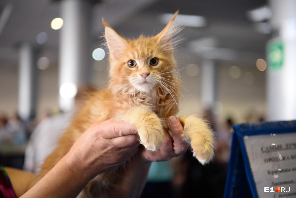 Самый мимимишный фоторепортаж этого дня: лучшие кадры с выставки кошек в Екатеринбурге