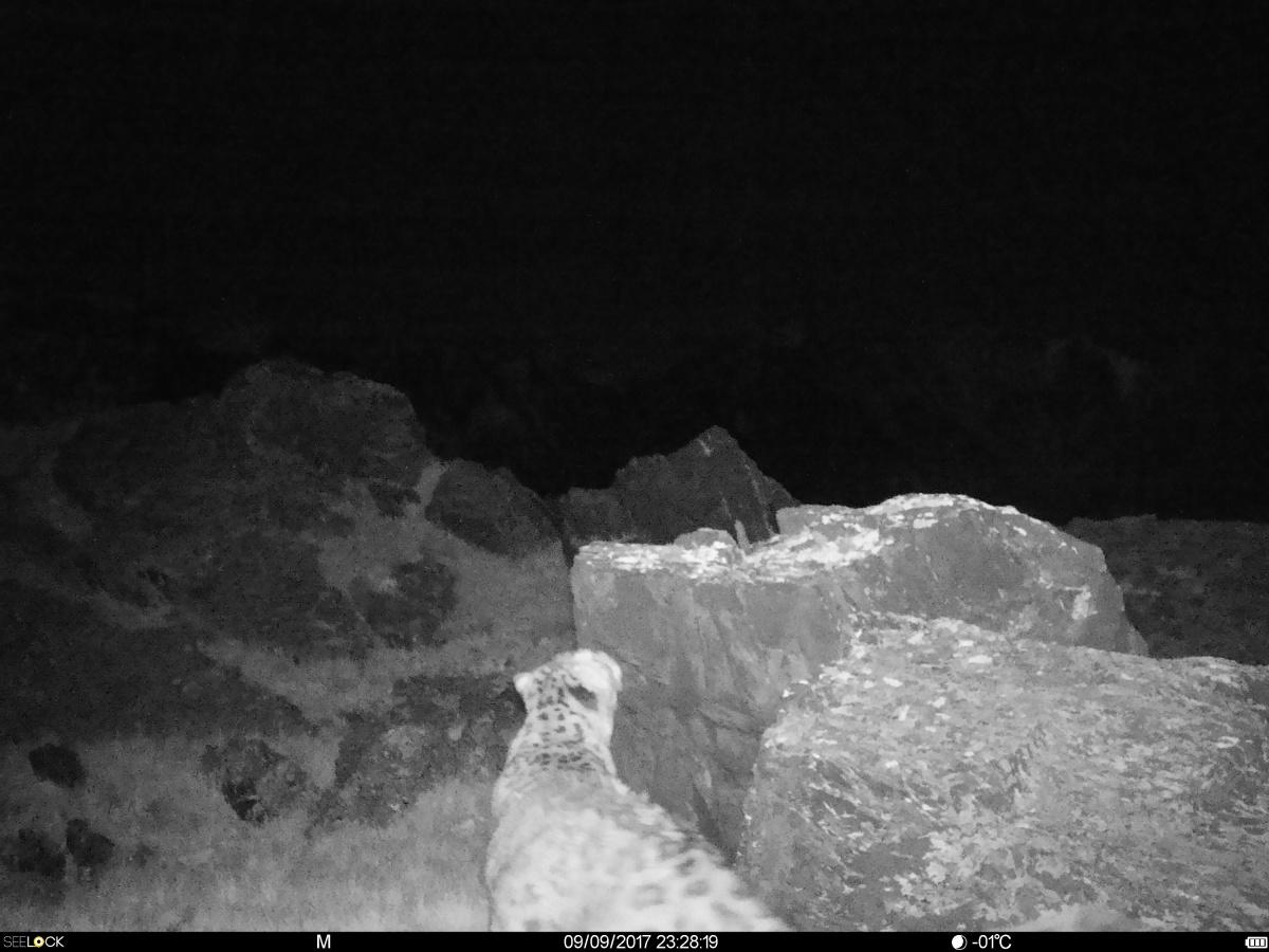 Наалтайском плато Укок впервый раз обнаружили ирбисов