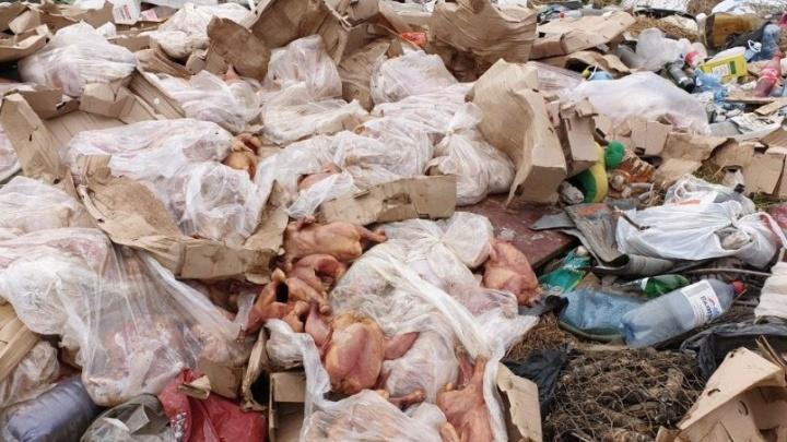 «Всё лежит, гниёт»: под Челябинском устроили свалку из куриных отходов