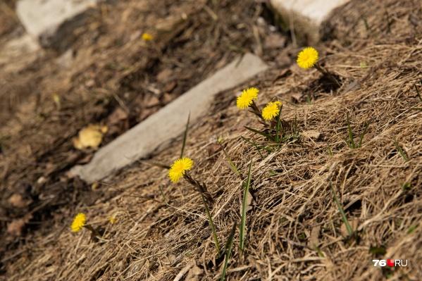 Цветки мать-и-мачехи всегда ассоциируются с приходом тёплой весны