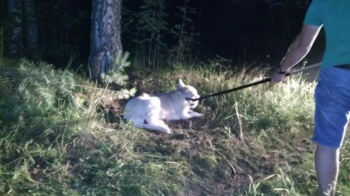 Не понимает, что его предали: в Ярославской области хозяин привязал пса к дереву в лесу