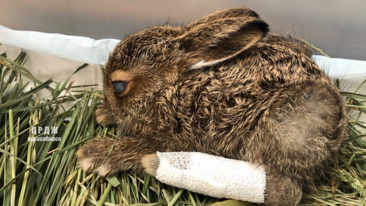 Новорожденного зайчонка сбила машина— ему предстоит операция