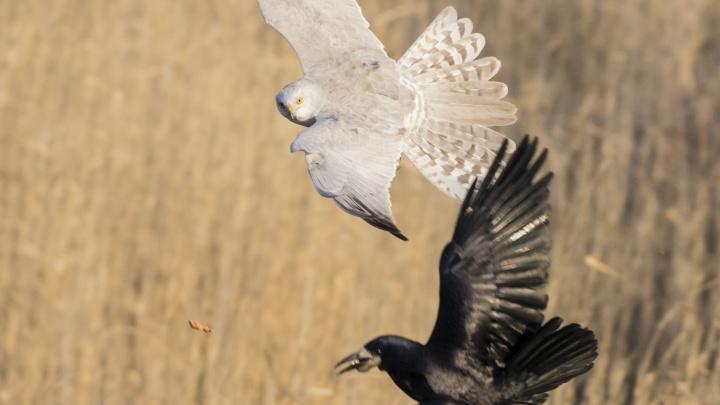 Под Новосибирском сфотографировали белую птицу из Красной книги