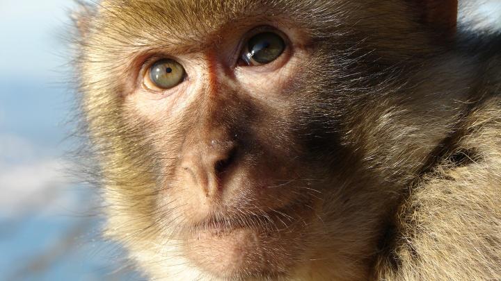 Видео: в ветклинике накормили обезьяну колбасой, чтобы она не нервничала во время сдачи анализов