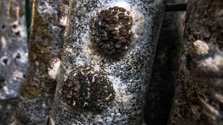 В Самарской области начали выращивать грибы