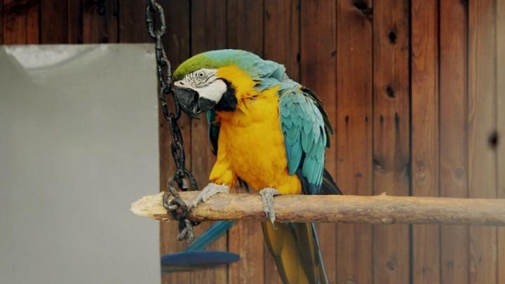 Зоомагазин в Ачинске оштрафовали на 1000 рублей за продажу попугая