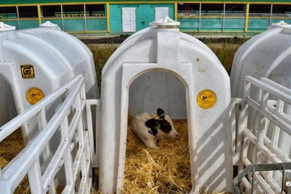 Инвестор обещает построить телятник на 1700 животных