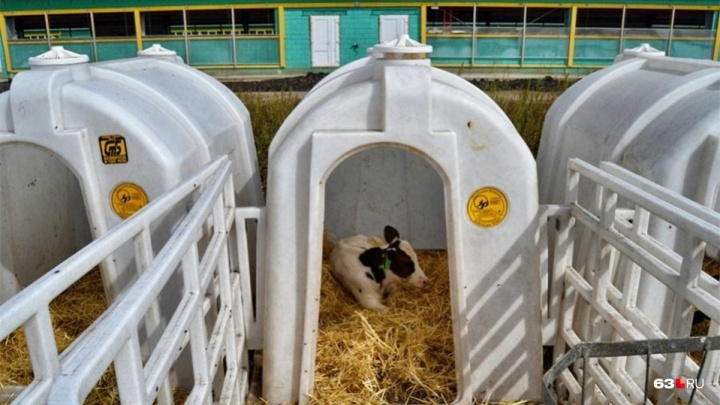 В Самарской области построят молочную ферму с телятником за 150 миллионов рублей