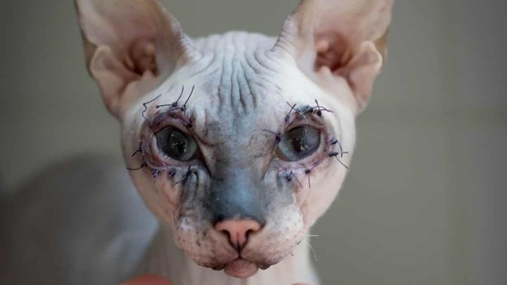 Волонтеры сделали слепнущему коту пластику век