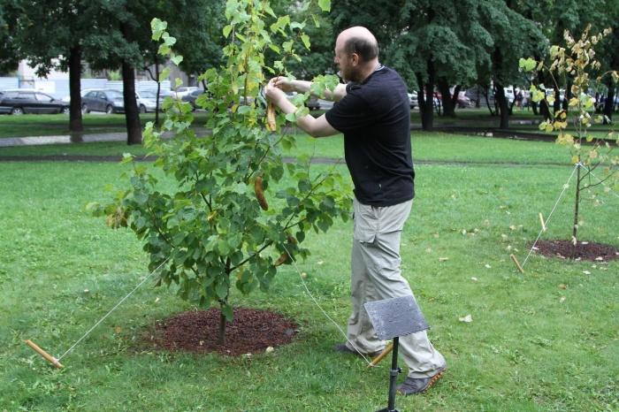На дереве около оперного «выросли» бананы