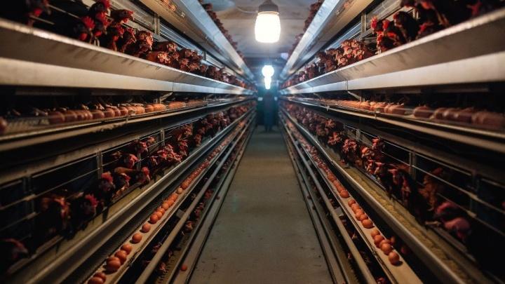 Дешевых яиц нет, но воняет пометом: в Общественной палате обсудили работу Боровской птицефабрики
