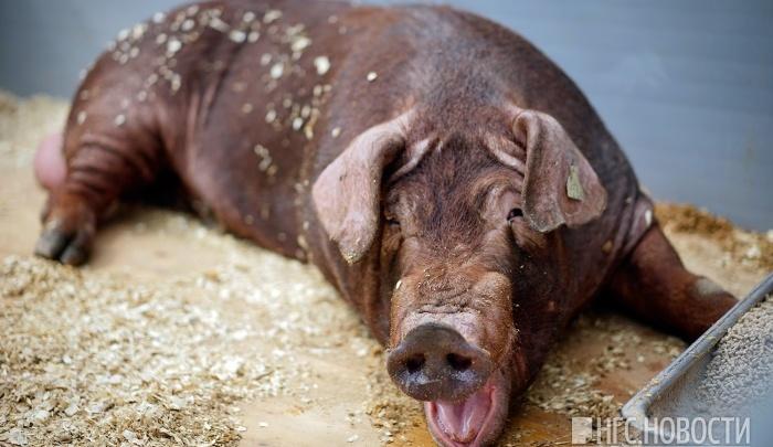 В Омской области обнаружили три новых очага африканской чумы свиней