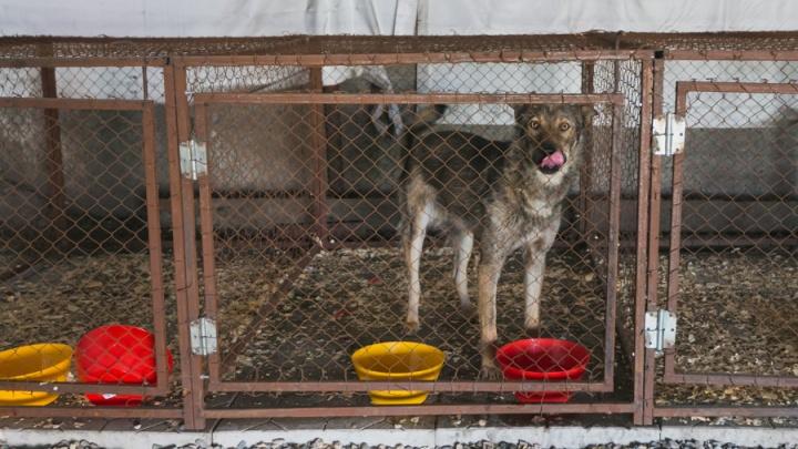 Ужесточенытребованиякловцамбездомных собак по Красноярску