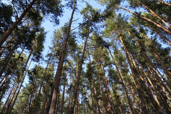 Лес на территорииЗАО «Сосновка»