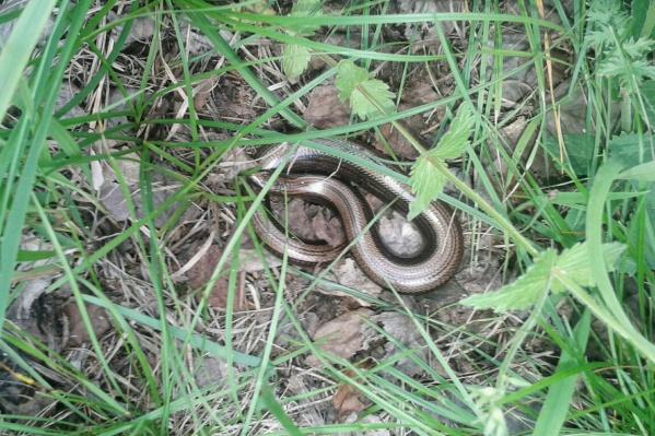 Веретеница, безобидная змейка, занесена в Красную книгу, убивать точно не стоит, вреда не несет