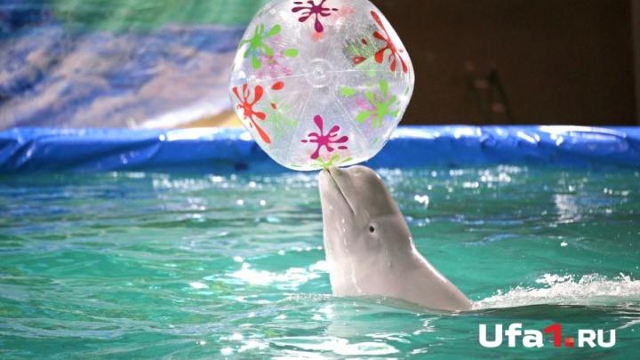 Эти милые морские обитатели: в Уфу приехали дельфины-белухи и морской котик