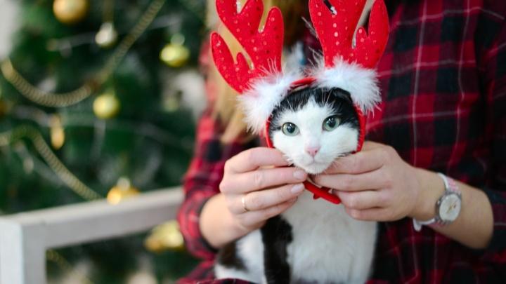 «Портрет отражает характер»: пермский приют «Матроскин» устроил котам новогоднюю фотосессию