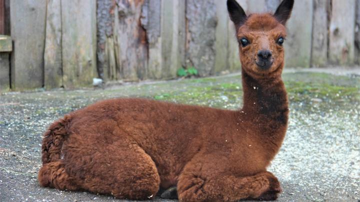 Знакомьтесь, Игорь Эдмундович. В пермском зоопарке малыша-альпака назвали в честь вратаря Акинфеева