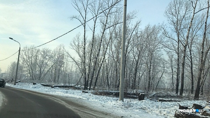 «Две недели по Красноярску деревья обрезают без разрешения»: чиновники подают в суд на энергетиков