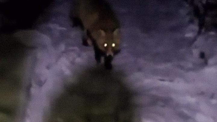 В поисках завтрака: в Уфе на видео сняли дикую лисицу