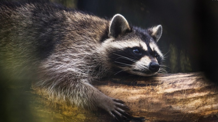 Видео: новосибирский зоопарк публично накормил енотов
