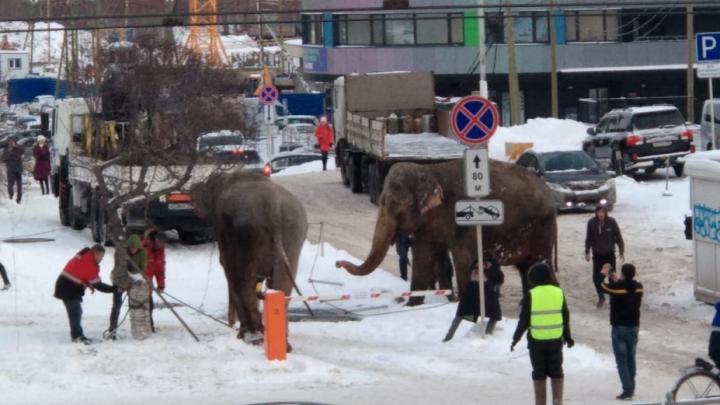 ГИБДД перекрывала дороги: в Екатеринбурге поймали слонов, сбежавших из цирка