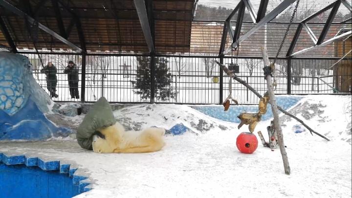 «Играла с ним, как котик»: белой медведице из зоопарка сделали новогодний подарок
