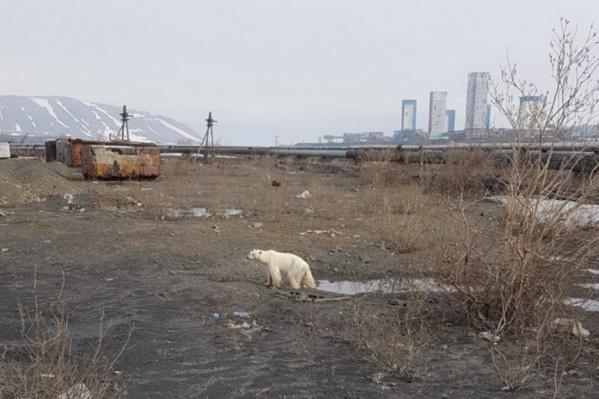 Белая медведица в окрестностях Норильска