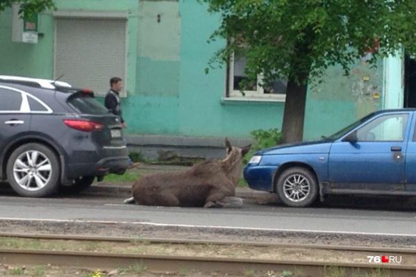 Лось на время прилёг отдохнуть на улице Чкалова