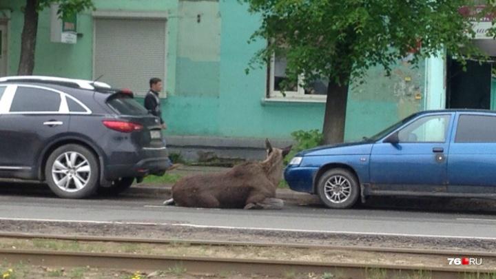 «Пугает людей и мешает транспорту»: в Ярославле на городские улицы выбежал дикий лось. Видео