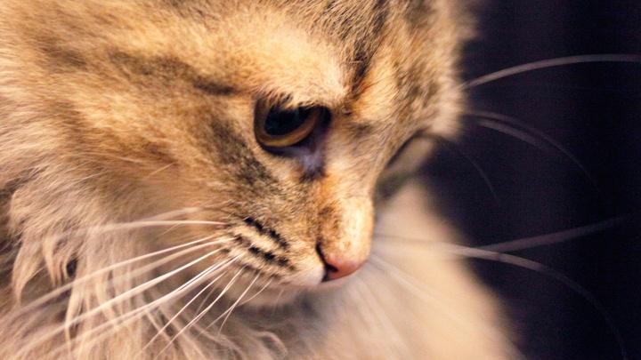 В Ярославской области два новых случая бешенства: смертельным вирусом заразилась домашняя кошка