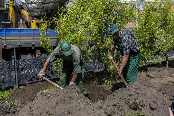 Рабочие «Горзеленхоза» в понедельник, 17 июля, начали сажать вязы на аллее Красного проспекта