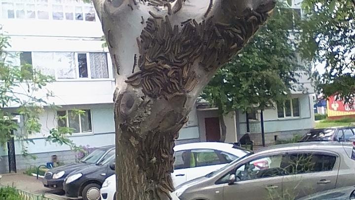 Сомнительное соседство: жителей города в Башкирии напугала орда гусениц на деревьях
