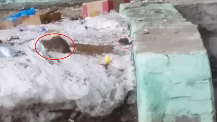 Многоэтажку в Ленинском районе атаковали жирные крысы