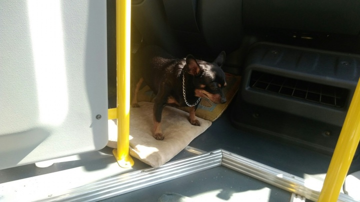 Омский маршрутчик ездит по городу со своей собакой: смотрим трансляцию об их рабочем дне
