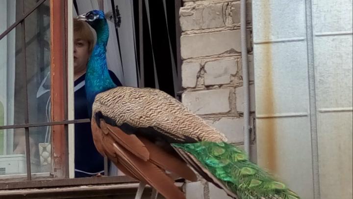 «Все кинулись его фотографировать»: в школу на Эльмаше прилетел павлин