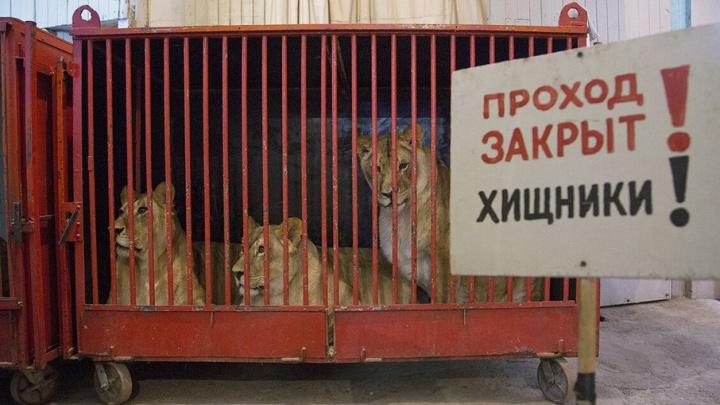 Животные из уфимского цирка, оставшиеся без крыши над головами, переехали в Челябинскую область
