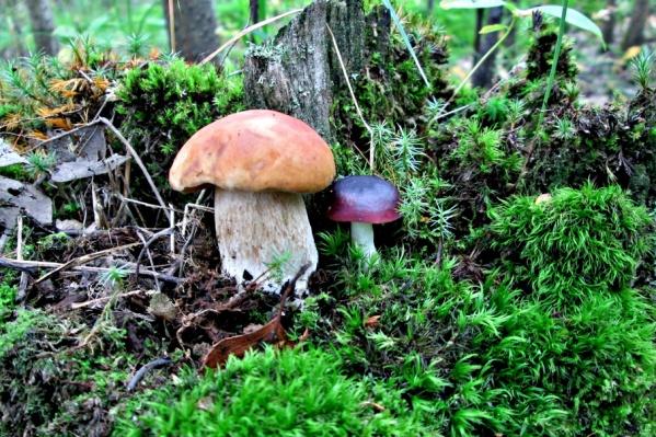 Сезон хоть и завершается, но грибов в лесах еще полно. Не верите? Смотрите, чем хвастаются тюменцы!