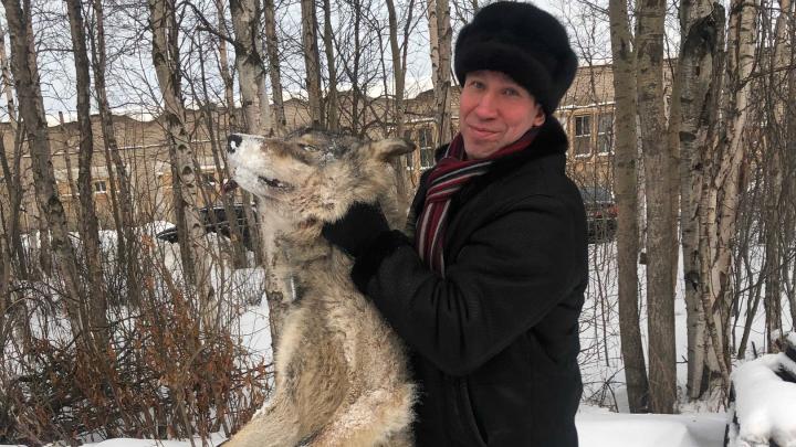 Депутат показал фото с огромным волком, который попался в ловушку у Нёноксы