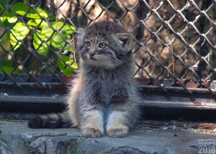 Выкормленных кошкой маленьких манулов новосибирцы увидеть пока не могут, зато фотографируют их сородичей, которые живут с мамами и уже выходят на прогулки