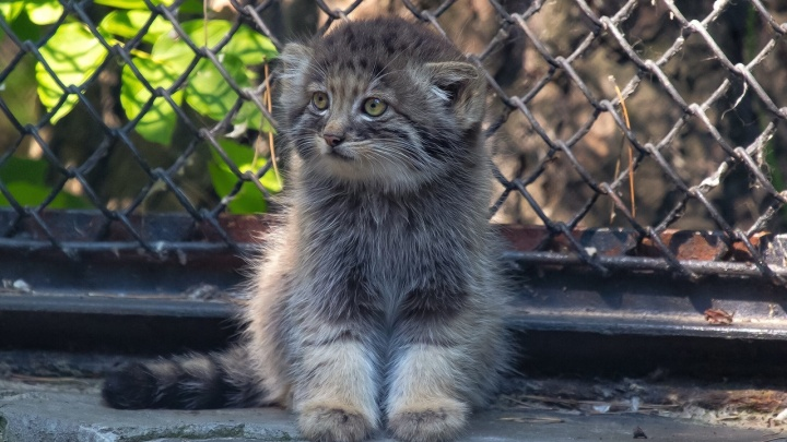 Домашняя кошка выкормила трёх крошечных манулов в новосибирском зоопарке