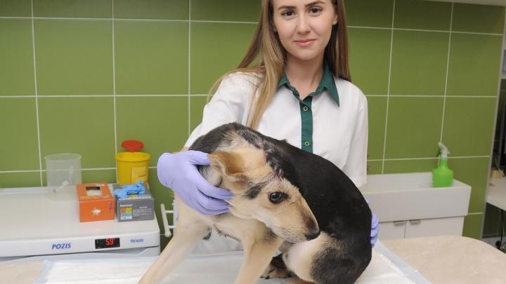 Волгоградского пса после пластической операции хотят забрать в Англию