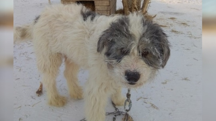 После смерти хозяйки пса бросили в приюте Красноярска