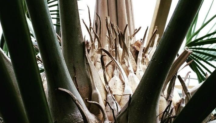 В Ботаническом саду у редкого гигантского растения впервые за несколько лет появились новые листья