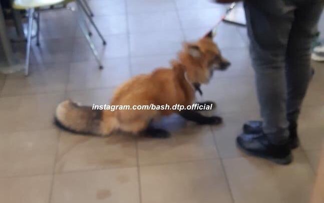 В Уфе девушка привела в ресторан быстрого питания лису на поводке