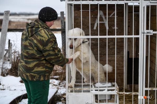 Алабая Шанти забрали из пункта кратковременного содержания собак (ПКС)