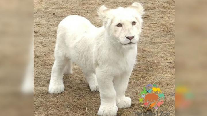 Маленькую ярославскую львицу Лавину, чья мама погибла при родах, выпустили в вольер