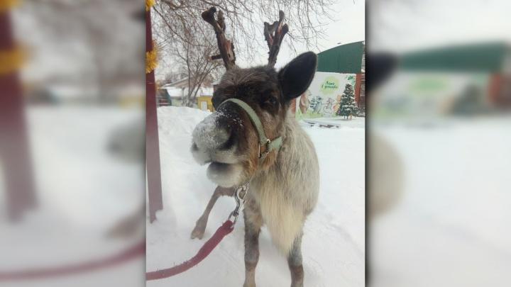 «Добродушная и разговорчивая»: на площадь Пермского зоопарка выпускают погулять олененка