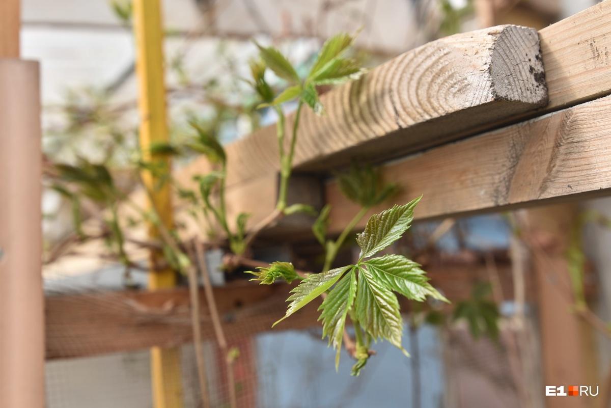 В этом году Николай Иванович хотел начать выращивать виноград