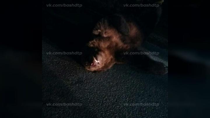 В Башкирии на трассе сбили медведя